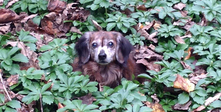 dog in bushes feature pic